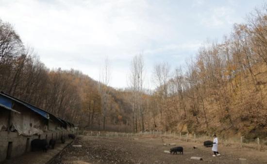 河南95后女大学生回村养猪 姐姐:找到对象陪嫁300头猪