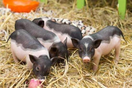 养猪巨头前9个月生猪出栏量占比增至11% 超500万散小户加速离场