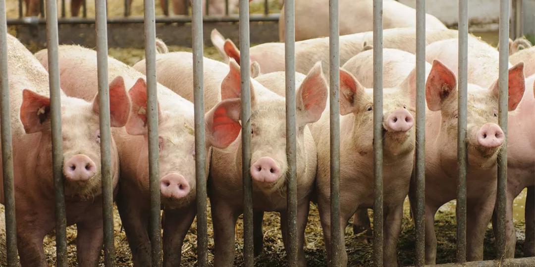 猪瘟笼罩下的国内原种猪进口现状及趋势