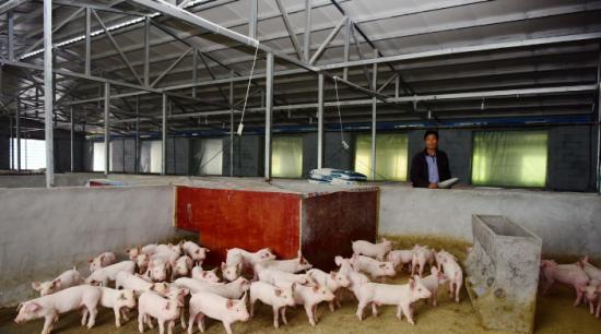 """11月29日全国仔猪价格报价表 云南仔猪最低价格降至""""冰点"""""""