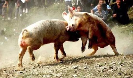 11月29日全国生猪价格土杂猪报价表 土杂猪均价要跌破每公斤30元?