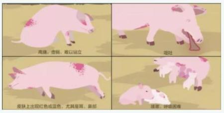 病猪早期出现这些症状可怀疑为非洲猪瘟!