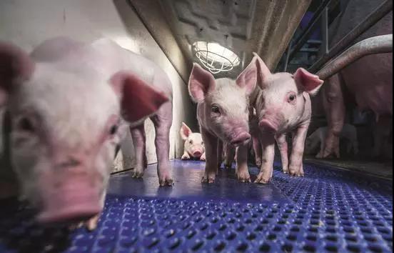 超500万中小散户正加速退出!每年吃掉全球一半猪肉的中国,中国的养猪业将如何布局?