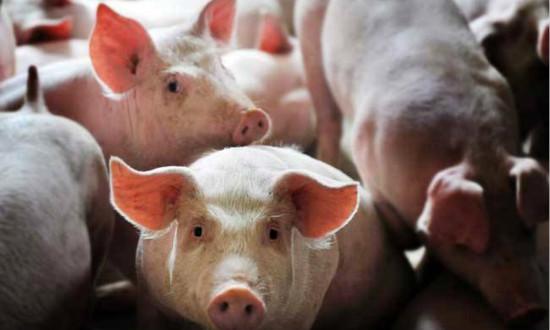 我国科学家在非洲猪瘟病毒(ASFV)结构领域取得新进展