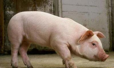 猪缺钙疾病的原因分析