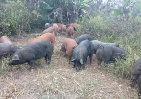 12月1日全国生猪价格土杂猪报价表 12月土杂猪价格迎来上涨为主走势