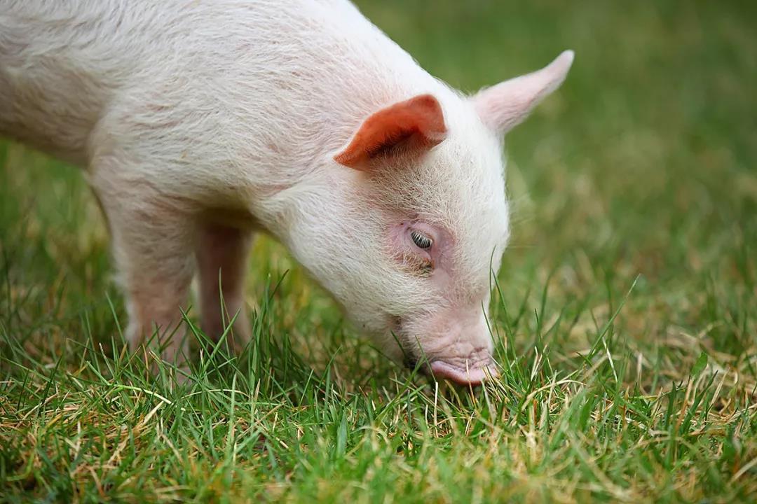 人工智能养猪将取代农村散养户?