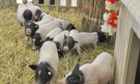 12月2日全国仔猪价格报价表 仔猪价格随能繁母猪存栏增长而回落