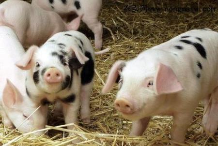 江西:今年生猪养殖贷款达116.4亿 发放贷款3.13万笔