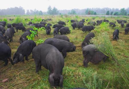 """宜昌预计今年生态养殖生猪出栏112万头 首推""""清平猪"""""""