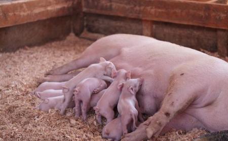 温度是万病之源?不同温度对猪只的影响深远
