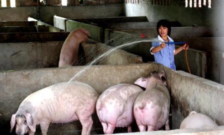温度对公猪的影响