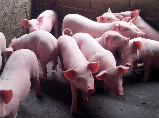 冬季气温低,猪场常见的几种呼吸道疾病,养殖户要注意啦