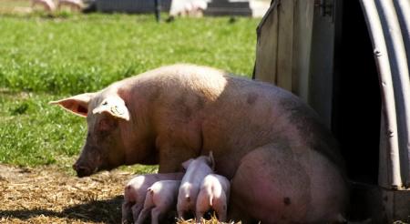 12月3日全国各地区种猪价格报价表,湖北安陆二元母猪报价4800元一头