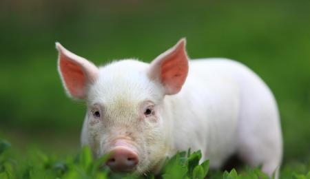 12月3日全国各省市仔猪价格报价表,云南仔猪均价降至低位