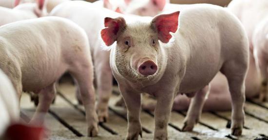 美国生猪存栏量创二战以来新高 价格创16年新低