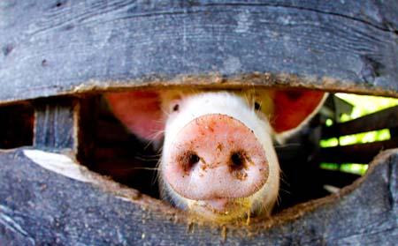 哈市巴彦兴隆镇一家养猪场猪舍发生火情 三百多头猪被烧死