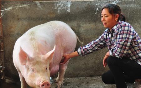 12月4日全国各地区种猪价格报价表,河北母猪报价突破性上涨