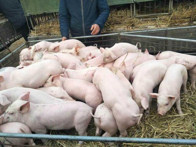 补助补贴、贷款贴息、优化用地..2019~2020年湖南主要养猪扶持政策来了!