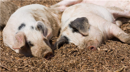 12月4日全国生猪价格土杂猪报价表,江西土杂猪价格全国最高