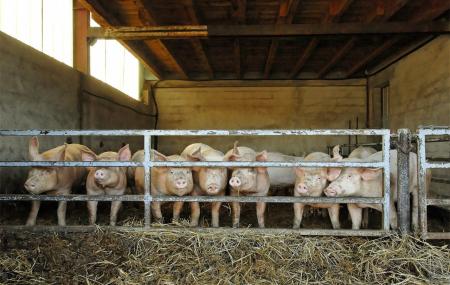 12月4日全国生猪价格外三元报价表,江苏生猪价格每公斤涨1.65元