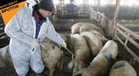 俄罗斯阿穆尔州非洲猪瘟疫情稳定 未发现新的疫情爆发