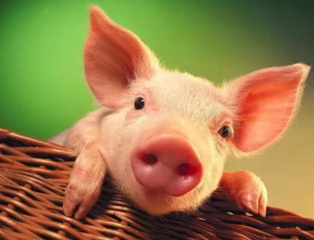 解决好吃饭问题,要像抓粮食生产一样抓生猪生产