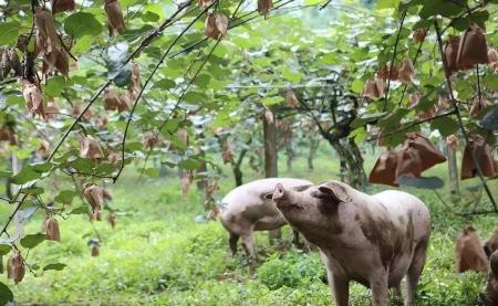 12月4日全国生猪价格,大面积飘红,均价再涨到17元以上