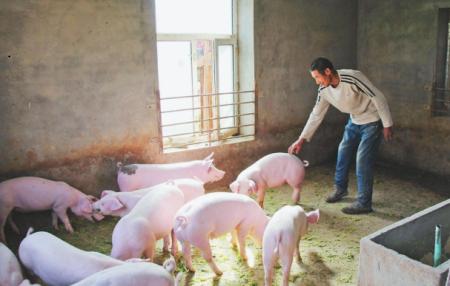 主人公在养猪