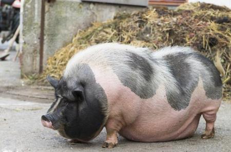 12月5日全国各地区种猪价格报价表,河北滦县母猪报价明显走高