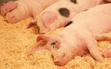12月5日全国生猪价格内三元报价表,今日内三元猪价格24省市涨4省市跌