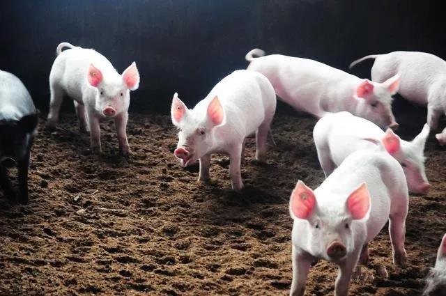 养猪做到这几点,想不发财都难?!