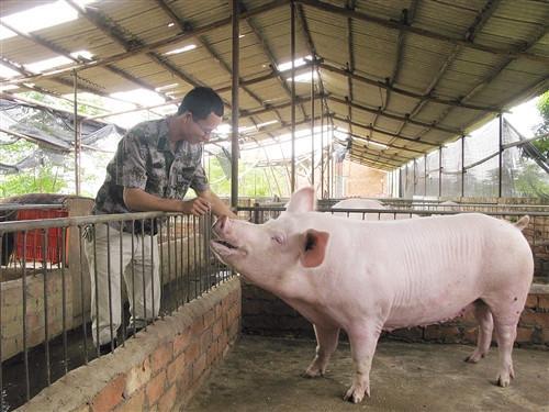 对怀孕母猪的饲养,牢记3点,产仔率绝对高!