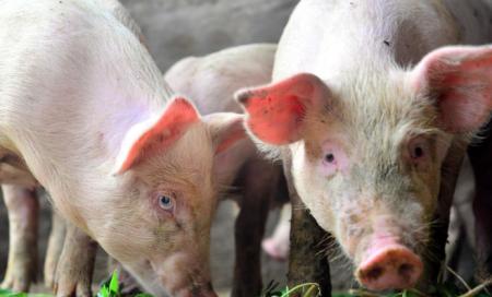 12月6日全国生猪价格内三元报价表,海南内三元猪价格为全国最高报价地区