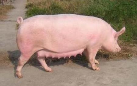 12月7日全国各地区种猪价格报价表,河北母猪价格全面涨至4500元水平