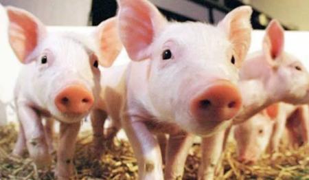 12月7日全国各省市仔猪价格报价表,近月余全国仔猪价格均有回落
