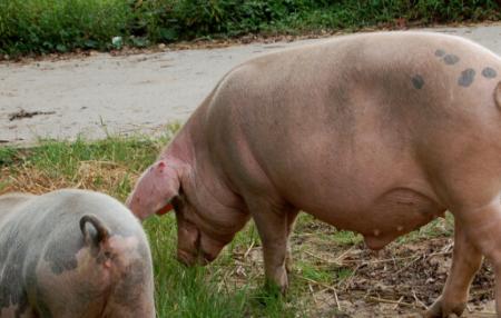 12月7日全国生猪价格土杂猪报价表,土杂猪价格涨跌地区过半