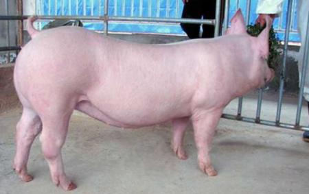 12月7日全国生猪价格内三元报价表,恢复到上月猪价格高位任重道远