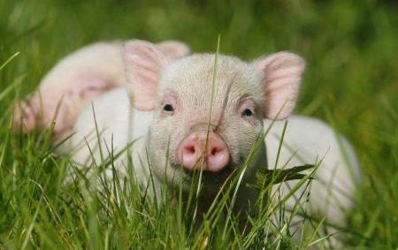 广东出实招恢复生猪产能,一批生猪养殖项目落户湛江