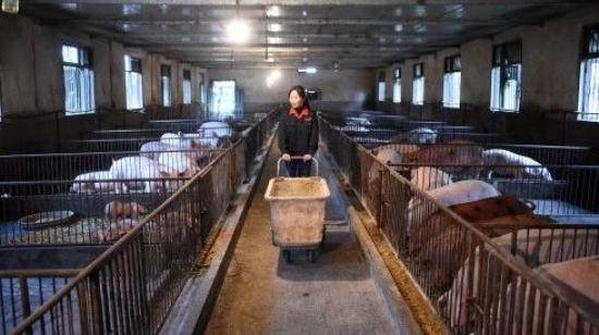 上市养猪企业销量暴跌,扩产还在继续!生猪产能何时恢复?