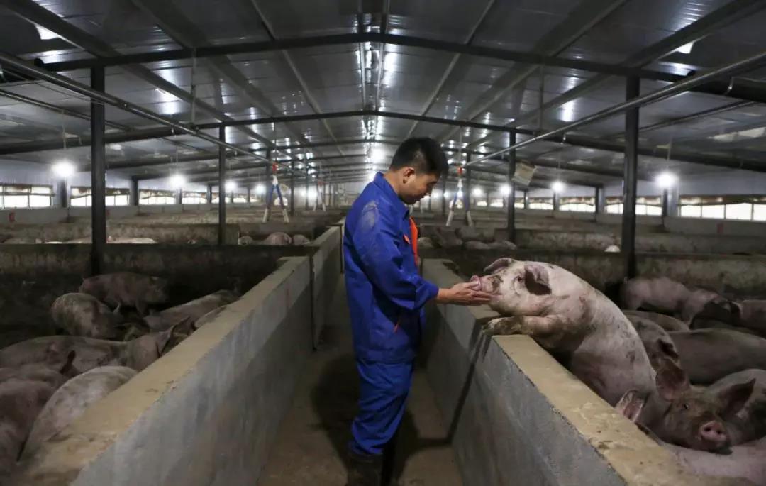 广东投入23亿元恢复生猪产能,土地审批流程缩短一个月!大批养猪项目密集落地