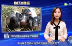 12月6日生猪价格行情分析:猪价和肉价会不会上涨?还得看以下三个因素!