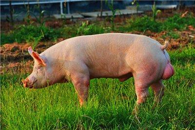 【遗传改良】影响猪精液中原生质滴高的原因分析