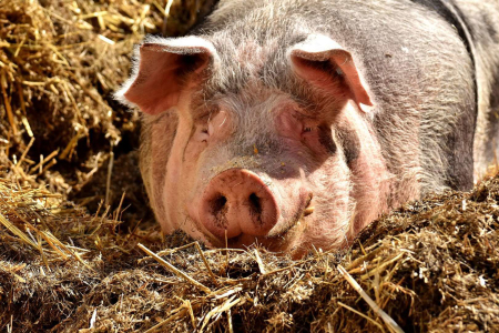 母猪怀孕后散发直肠脱出引起的原因分析?