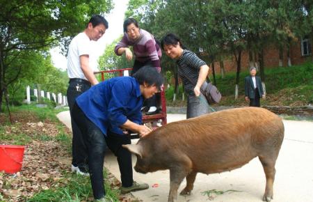 12月9日全国各地区种猪价格报价表,母猪价格未被生猪价格牵累依旧平稳