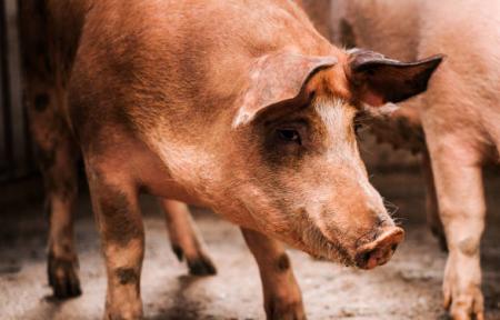 12月9日全国生猪价格内三元报价表,天津内三元猪价格每公斤跌1.35元