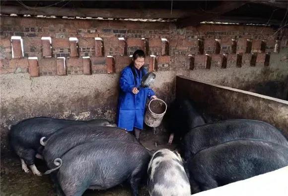 重庆綦江:贫困户的养猪逆袭战 为好日子带来更多曙光