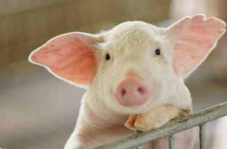 """辽宁制定生猪产能恢复与发展""""时间表"""" 2020年生猪生产恢复至正常水平"""