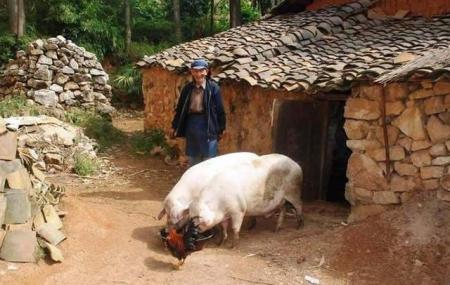 养猪故事:农村母亲养猪