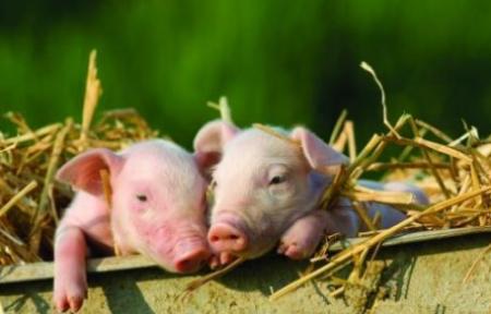 """养猪赶上好时候,贫困户变成""""暴发户"""""""